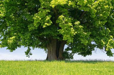tree-linden